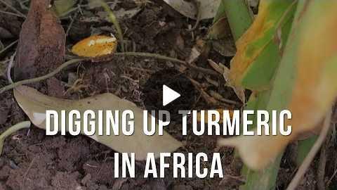 Digging Up Fresh Turmeric Root in Zanzibar, Tanzania Africa